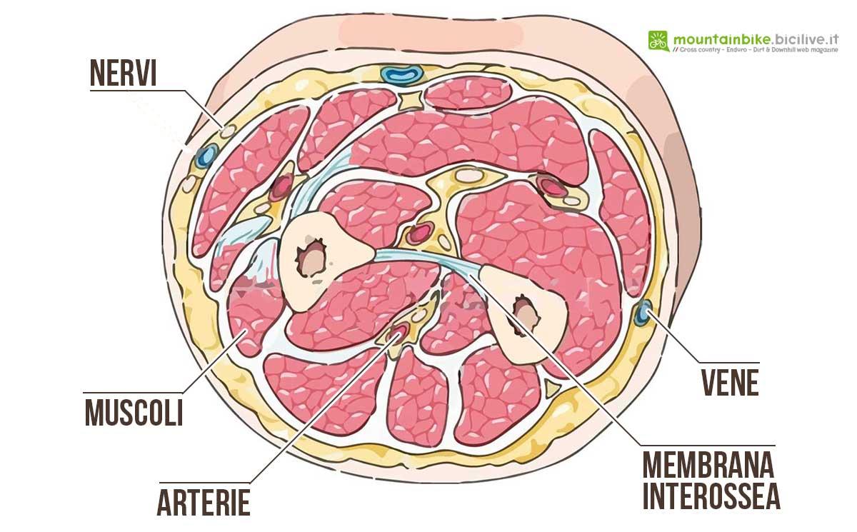 Sezione anatomica dell'avambraccio destro dov'è possibile osservare le varie strutture al suo interno