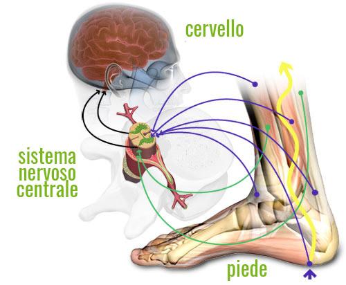 Uno schema molto semplificato rappresentante alcuni circuiti nervosi dei recettori propriocettivi